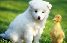 Framed Print - White Puppy Playing with a Duckling (Picture Animal Dog Chick Art