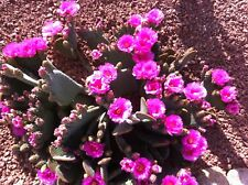 "Beaver Tail Cactus Three 6""-8"" Pads (Cuttings) Fuchsia Blooms"