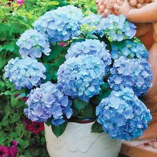Gorgeous New 10 Blue Hydrangea Flower Seeds Easy to Plant Ideal Garden Present