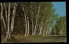 BEAUTIFUL WHITE BIRCHES FAIRVIEW MICHIGAN CHROME POSTCARD COND: VERY GOOD