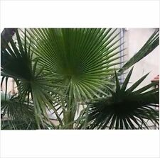 Washingtonia Robusta fresca Palmera 5 Semillas.