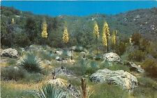 B75723 native yucca in bloom   usa