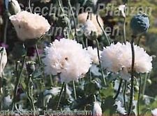 Mohn white cloud 100 Semillas rellenas Flor blanco Papaver