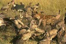 408014 Hyena In The Middle Of Vultures A4 Photo Print