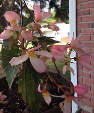 """""""Angel Falls"""" Pink Tuberous Begonia Seeds HANGING BASKET PLANT"""
