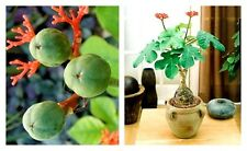 Jatropha podagrica seed Buddha belly very rare succulent plant 5 seed fresh