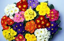Primula Lollipops Seed Long Winter Flowering Perennial in 5 colors P. malacoides