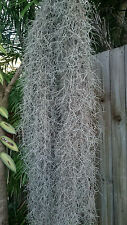 30 grams +, Air Plant, Old mans beard,Spanish Moss,Tillandsia Usneoides