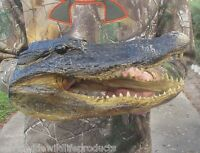 12 inch Alligator head from a real 8 foot gator taxidermy skull reptile # 16934
