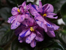 African Violet YOUNG PLANT Robs Dust Storm  mini Usambaraveilchen