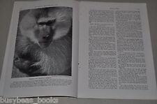 1938 magazine article about MONKEYS, color art, info, history etc