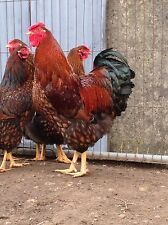 Show Quality Gold Laced Wyandotte Lf Hatching Eggs