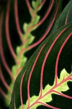 "Hirt's Red Prayer Plant - Maranta - Easy to Grow House Plant - 4"" Pot"