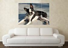 Large Boston Terrier Dog Crufts Pedigree Wall Poster Art Picture Print