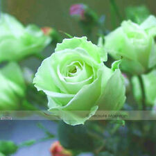 Chinese Green Rose Bush Seedling Seed Rosa Chinensis Flower, 50 Seeds / Pack