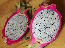 Red Dwarf Dragon Fruit–Pitaya - truly one of god's wonders! 10 Finest Seeds
