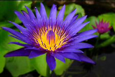NYMPHAEA CAPENSIS BLUE - NINFEA BLU, 10 SEMI