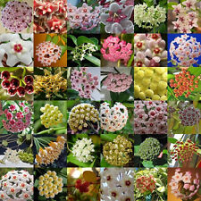 300 pcs/lot Mixed Color Hoya Carnosa Seeds Garden Mixing Tee Home Decoration
