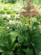 ELDERBERRY RODGERSIA * R. sambucifolia * STATELY WOODLAND SHADE PLANT * SEEDS