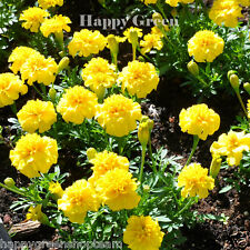 FRENCH MARIGOLD PETITE YELLOW - 400 seeds - Tagetes Patula nana ANNUAL FLOWER