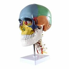 Aphrodite Didactic Human Skull Model with 7 Cervical Vertebrae, Nerve and Artery