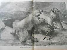 Gravure 1883 Océan glacial arctique Ours Polaires capturant un morse