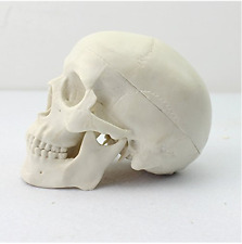 Human Mini Medical Anatomical Head Bone Skull Bone Model US Stock New Sale