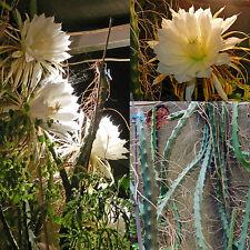 Selenicereus grandiflorus, Queen of the Night Cactus, Reine de Nuit, 2 cuttings