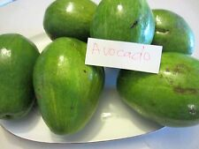 1 BABY Florida Avocado Tropical Fruit Flower Tree Plant Aguacate Persea america