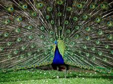 PEACOCK BIRDS FEATHER PHOTO ART PRINT POSTER PICTURE BMP587A