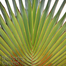 Traveler's Palm - Ravenala madagascariensis  LIVE PLANT Exotic unique