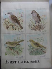 Water colour WILD BIRDS 1948 Elton Stirland 26x36cm INSECT EATING BIRDS sheet 10