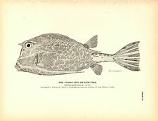 Rare 1884 Antique Fish Print ~ The Trunk-fish or Cow-fish