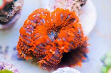 Fire Red Mushroom WYSIWYG - Live corals SPS LPS Polyps h125