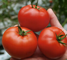 Vegetable Seed TOMATO - Large Red Tomato - Hybrid Seed - Pack of 100 Seeds