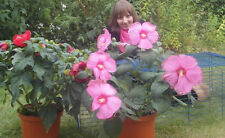 Intensiver Duft wie Rosen : Riesen-Hibiscus  : Blühfarben rot / rosa  * Saatgut