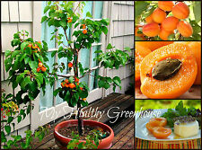"""SEEDS – Dwarf """"Rouge du Roussillon"""" Apricot Fruit Tree Variety, Hardy, Blossom"""