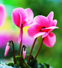 Cyclamen Seed 5 Seeds Pelargonium Hortorum Bailey Flower Garden Seeds Hot A145