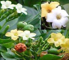 Ein Duft der sie verblüfft!  Parfümbaum - Zimmerpflanze