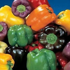 20 Rainbow Bell Pepper Seeds  colorful  Bright Easy to grow Annual TT285