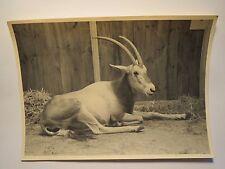 Liegendes Tier - Hörner - Antilope ? / Foto