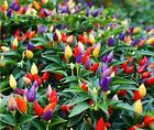 30Pcs Ornamental Hot Pepper Seeds Prairie Fire Edible Grow Inside or Out Home HC