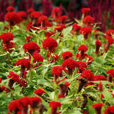 CELOSIA Toreador Cockscomb Seeds (F 83)