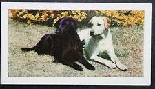 Labrador Retriever  Early 1960's Vintage Colour Photo Card  # EXC