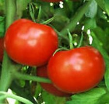 Tomato- Rutgers- 50 Seeds - 50 % off sale