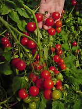 TOMATO - DWARF VARIETY - WINDOW BOX RED - 100 FINEST SEEDS