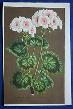 Genuine antique botanical flower print PELARGONIUM ZONALE van Houtte c.1860