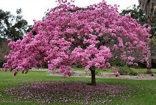 Pink Trumpet Tree (Tabebuia impetiginosa) - NOVEMBER 2016 Collection - 15 Seeds