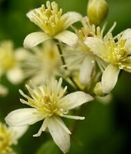 20 WHITE CLEMATIS Virginiana / Virgins Bower Flower Vine Seeds + Gift & Comb S/H
