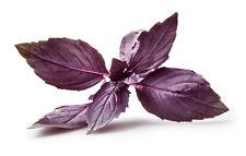 50 Semillas BIO de Albahaca Pourpe Opal Planta Aromática